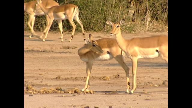 Exterior shots of a herd of Impala in the Lower Zambezi National Park on August 13 2002 in Zambezi Zambia