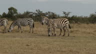 Exterior shots of a herd of zebras grazing on the Ol Pejeta Conservancy on 2nd August 2017 in Liakipia Kenya