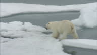 Exterior shots of a Polar Bear in the wild walking across a Ice Floes in the North West Passage on August 25 2007 in Cambridge Bay Canada