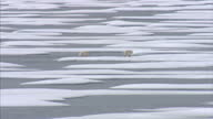 Exterior shots of a Polar Bear mother and her two cubs in the wild walking across ice floes in the North west Passage on August 25 2007 in Cambridge...