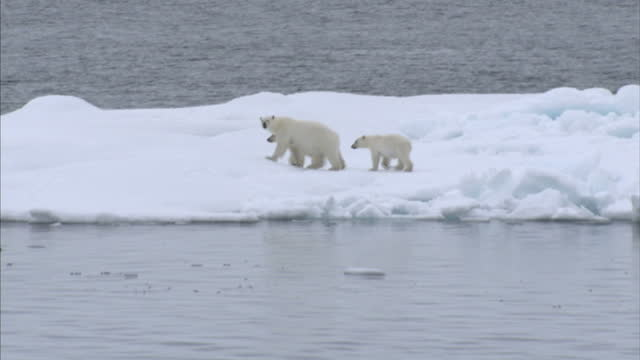 Exterior shots of a Polar Bear mother and her two cubs in the wild stranded on drift ice and melting ice floes in the North west Passage on August 25...