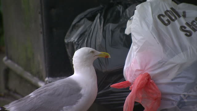 Exterior shots of a seagull making a hole in a rubbish bag and pulling out food on July 18 2015 in Newquay England