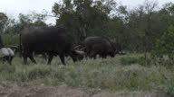 Exterior shots of African Buffalo grazing on the Ol Pejeta Conservancy on 2 August 2017 in Liakipia Kenya