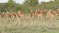 Exterior shots of African Gazelle on the Ol Pejeta Conservancy on 2 August 2017 in Liakipia Kenya