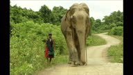 Exterior shots of an elephant wearing chains being walked along countryside roads with it's owner on October 3 2003 in Pathein Myanmar