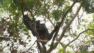 Exterior shots of chimpanzees in a tree walking together through forest collecting bananas from the river on February 18 2012 in Rumangabo The...