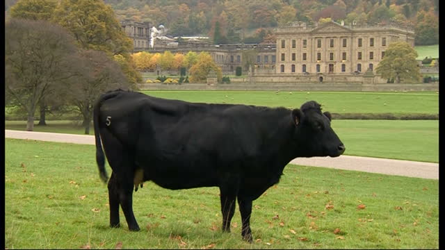 Exterior shots of cows grazing in the grounds of Chatsworth House on October 23 2015 in Wirksworth England