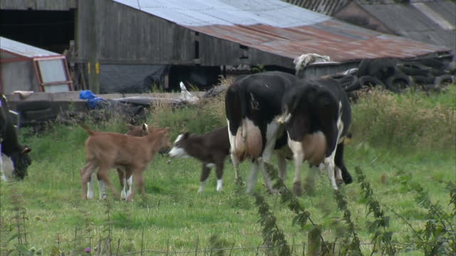Exterior shots of dairy cows grazing in a field including a Heifer a calf and a bull on July 18 2015 in Bosley United Kingdom