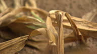 Exterior shots of drought evidence dryed out corn crops on a farm in Indiana 2012 US drought including failed crops dried up lake cattle and food on...