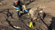 Exterior shots of forensic team at Kruger National Park digging examining elephant remains left by poachers placing evidence marker by elephant skull...