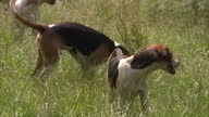 Exterior shots of Fox Hounds running about in a field on July 14 2015 in London England