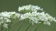 Exterior shots of Hogweed growing on a river bank on July 18 2015 in UNSPECIFIED United Kingdom
