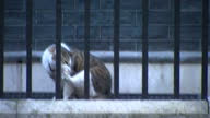 Exterior shots of Larry the Downing Street Cat sat on the steps of Number 10 Downing Street waiting to be let in on 8 March 2017 in London United...