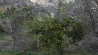 Exterior shots of lemon and orange trees in Battir near Bethlehem Israel on in Bethlehem West Bank