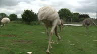 Exterior shots of Rheas eating bread given as a treat on a farm near Salisbury>> on June 25 2015 in Salisbury United Kingdom