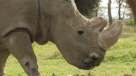 Exterior shots of rhino grazing on the Ol Pejeta conservancy on 2 August 2017 in Liakipia Kenya