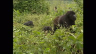 Exterior shots of silver back gorillas grazing on foliage on mountain a family group grazing together on January 25 2002 in Volcano National Park...