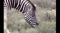 Exterior shots of Springboks and a Zebra grazing on Sanbona Wildlife Reserve on May 14 2006 in Montagu South Africa