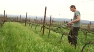 Exterior shots of Terry Hoage trimming vines out in his vineyards in California Wide shots show rows of vines along the California hillside