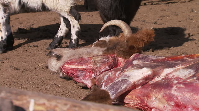 Exterior shots of the carcasses of dead animals on a nomadic Mongolian farmstead gripped in the midst of the country's worst winter for decades on...