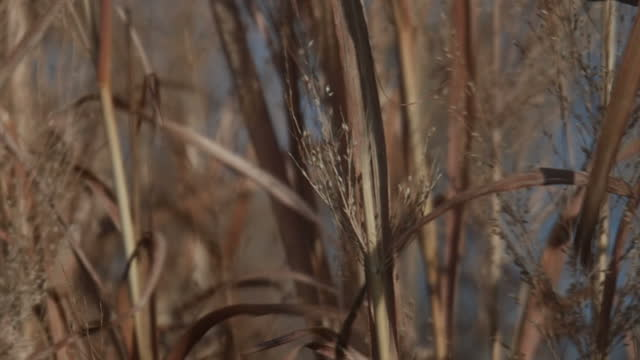 Exterior shots of wild grass or wheat blowing in the breeze on a rural Iowan farm on a clear winter's day on January 31st in Des Moines Iowa