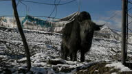 Exterior shots of Yaks grazing in a Tibetan village in the snow on October 17 2011 in Aba County China