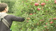 Exterior shots orchard workers picking English Discovery apples from trees into tubs Exterior shots workers tip apples from tubs into crates on...