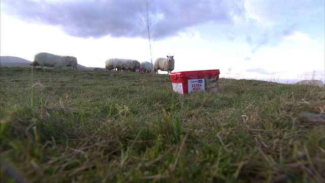 Exterior shots sheep grazing farmer drives in land rover LandRover rounding up flock of sheep Llanfairfechan is a town and community in the Conwy...