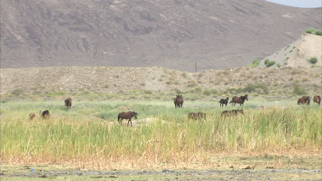 Exterior wide shots of wild horses foals grazing in a desert with mountains visible in the background on October 10 2009 in Reno United States