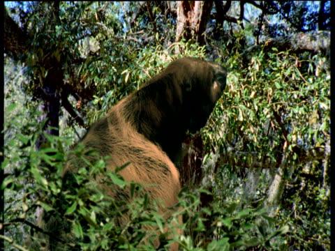 giant tree sloth photo14