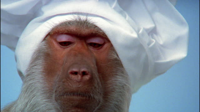 Extreme close up baboon in chef's hat / zoom out