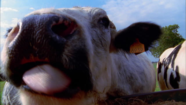 Extreme close up cow w/tags in ears / nose and tongue close to CAM