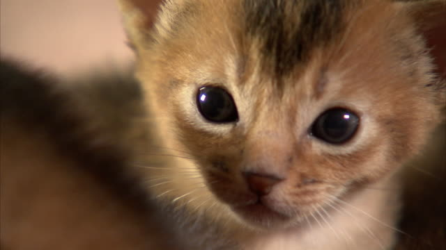 Extreme Close Up hand-held zoom-in - An Abyssinian kitten stares intently.