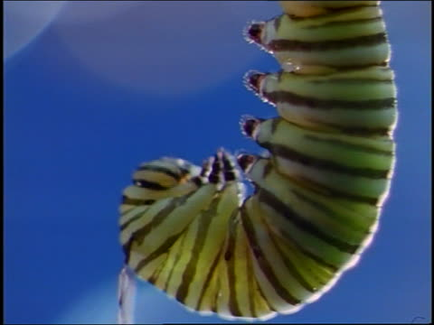 extreme close up monarch caterpillar hanging upside down / blue background