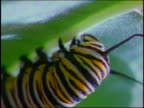extreme close up monarch caterpillar on underside of green plant