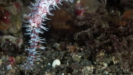 Extreme Close Up of an Ornate Ghost Pipefish