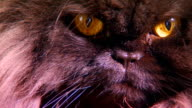 Extreme close up on a black persian cats face