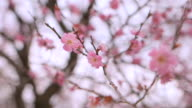 Extreme close up shot of plum blossom flowers in Ibaraki Kairakuen Garden numerous translucent pink petals overlapping each other racking focus from...