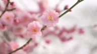 Extreme close up shot of plum blossom flowers numerous translucent pink petals overlapping each other