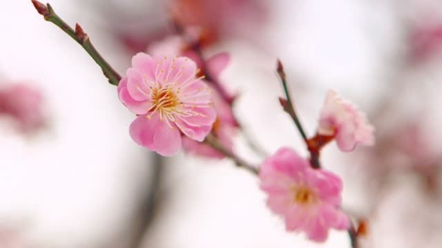 Extreme close up shot of plum blossom flowers numerous translucent pink petals overlapping each other in Ibaraki Kairakuen Garden