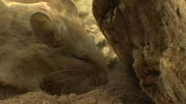 Extreme close up, side angle, tilt down; mouse digging in sand