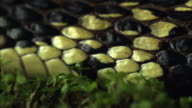 Extreme Close Up Slow Motion - Rat snake slithering through the grass / Costa Rica