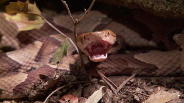 Extreme Close Up - Snake hissing and unhinging jaw /