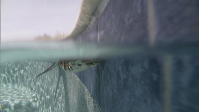 Extreme Close Up - Snake swimming underwater by pool's edge /