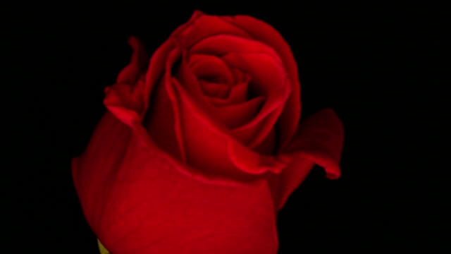 Extreme close up time lapse red rose blooming in front of black background