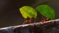 extreme close up PAN two leaf cutter ants carrying leaves over fallen tree trunk in rain forest / Manu, Peru
