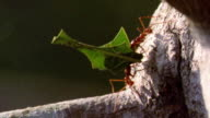extreme close up two leaf cutter ants carrying leaves over fallen tree trunk passing each other / Manu, Peru