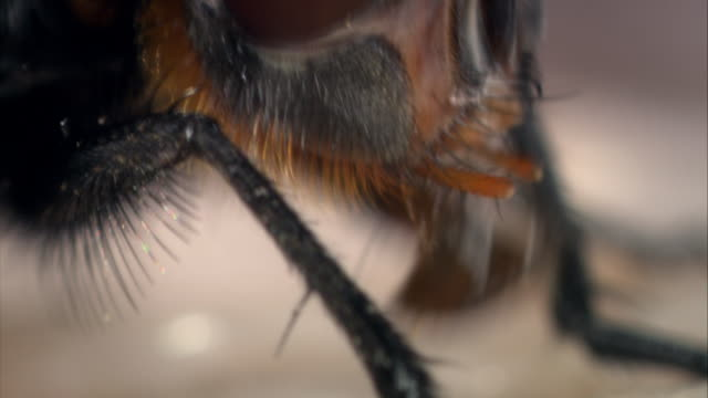 Extreme close-up of a blowfly eating