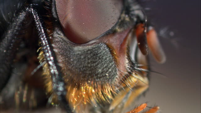 Extreme close-up of a blowfly's eyes