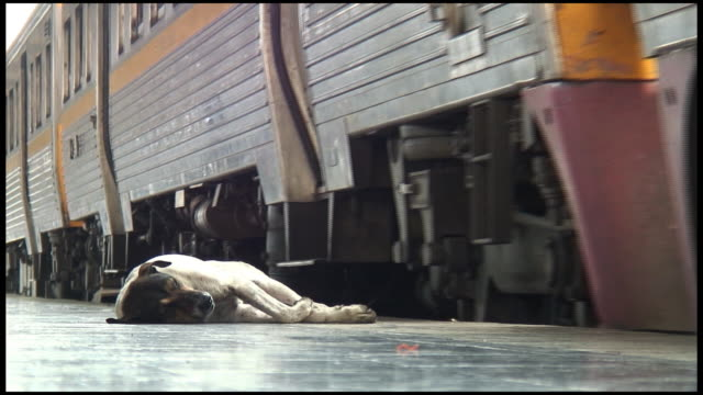 (HD1080i) Extreme Heat:  Stray, Wild Dog Sleeps As Train Arrives